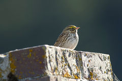 Cute savannah sparrow. A small savannah sparrow is perched on a brick structure near Hauser, Idaho Royalty Free Stock Images