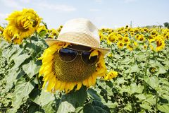 Hat and glasses on a sunflower royalty free stock photos