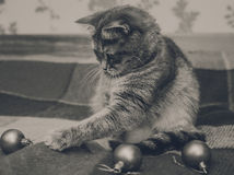 Cute Scottish cat is playing with christmas balls.Checkered plaid.Black and white Stock Images