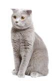 Cute Scottish Fold cat Royalty Free Stock Photo