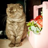 Cute Scottish fold cat and flower arrangement in wooden box. stock photos
