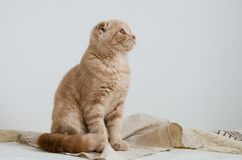 Cute scottish fold cat sitting on light grey background and looking away copy space stock images