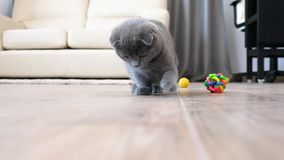 Cute scottish fold kitten playing with a red dot. In the house. Slow motion video stock footage