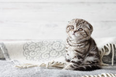 Cute scottish fold kitten sitting. In soft blanket on wooden boards background Stock Photo