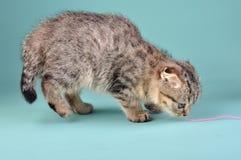 Cute Scottish fold kitten Royalty Free Stock Photo