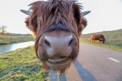Cute Scottish Highlander. So cute, Scottish highlander on te road Royalty Free Stock Photography