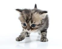 Cute Scottish straight kitten moving along Royalty Free Stock Photo