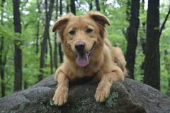 Cute scotty dog smiling on a big rock. In the woods Stock Images