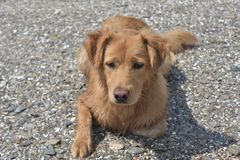 Cute scotty puppy laying on a rocky beach. Coast Royalty Free Stock Photos