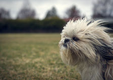 Cute, Scraggly Ungroomed Shih Tzu Dog in Wind. A cute, long-haired, ungroomed Shih Tzu dog facing into a strong wind closeup with lots of copy-space Royalty Free Stock Photo