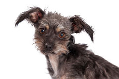 Cute Scruffy Terrier Crossbreed Dog Closeup Stock Images