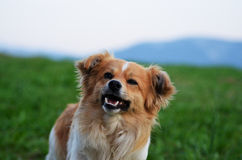 Cute scruffy terrier with a happy smile Royalty Free Stock Photos