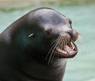 Cute sea lion barking Royalty Free Stock Photography