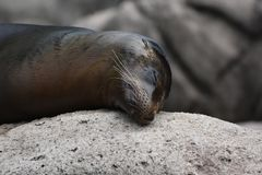 Cute Sea Lion Rubbing His Head on a Rock. Cute Sea Lion Close Up on a Rock Royalty Free Stock Photography