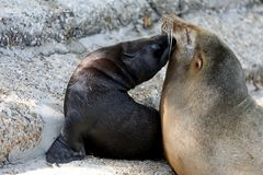 Cute Sea Lion cub with mother. A Cute Sea Lion cub with mother royalty free stock photo
