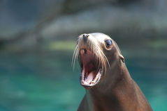 Cute Sea Lion With His Mouth Wide Royalty Free Stock Photos