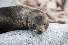 Cute sea lion relaxing on a rock in Antarctica Royalty Free Stock Images