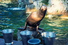 Cute Sea lion Royalty Free Stock Photography