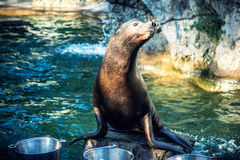 Cute Sea lion. Or seal at feeding time stock photography
