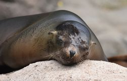 Precious Sea Lion Taking a Nap on a Rock. Cute Sea Lion Sleeping on a Rock Stock Image