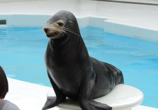 Sea lion is smiling. A cute Sea lion is smiling Stock Photos