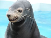 Sea lion is smiling. A cute Sea lion is smiling Stock Image