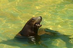 Cute sea lion swimming and playing in water Royalty Free Stock Images