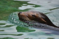 Cute Sea Lion Head Peaking out of the Water. Cute Sea Lion Swimming in the Water Royalty Free Stock Photos