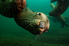 Cute Sea Lion Underwater Royalty Free Stock Photos