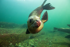 Cute Sea Lion Underwater Stock Images