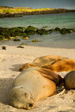 Cute sea lions sleeping in La Loberia beach, San Stock Photo