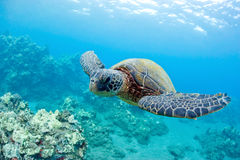 Cute sea turtle. Green sea turtle and coral reef maui hawaii Stock Photography