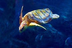 Cute sea turtle in aquarium. Looking on too hands Stock Photos