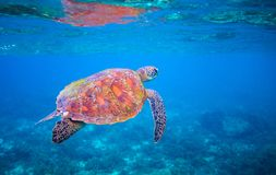 Cute sea turtle swims in sea water. Green sea turtle closeup. Wildlife of tropical coral reef. royalty free stock images