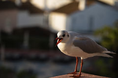 Cute seagull with opened beak singing and calling his friends Royalty Free Stock Images