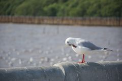 The cute seagull standing and cleaning fur on the cement wall royalty free stock images