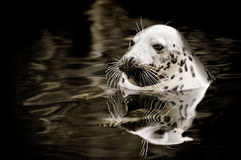 Cute seal Royalty Free Stock Image