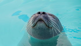 Cute seal. In the water Royalty Free Stock Image
