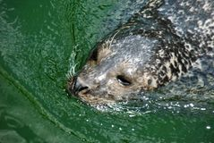 Cute seal enjoying a swim in the summer. Above shot of a cute seal enjoying a swim in the summer royalty free stock photo