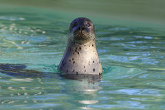 Cute seal Royalty Free Stock Images