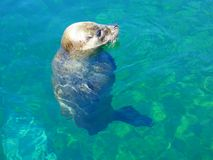 Cute seal sunbathing, Phoca Vitulina royalty free stock images