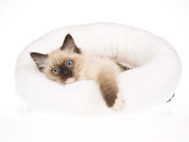 Cute seal point Ragdoll kitten in white bed Stock Images