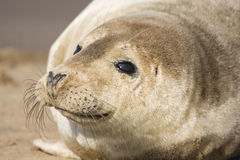 Cute seal pup Royalty Free Stock Photo