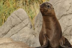 Cute seal pup Stock Photos