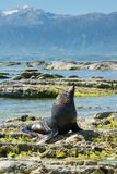 Cute seal sitting on the rock at Kaikoura Royalty Free Stock Photos