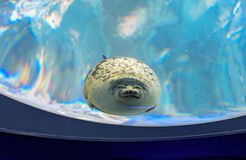 A cute Seal. royalty free stock photography