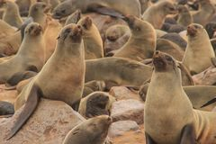 Cute seals frolic on the shores of the Atlantic Ocean in Namibia. royalty free stock photos