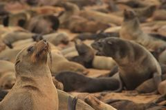 Cute seals frolic on the shores of the Atlantic Ocean in Namibia. royalty free stock photo