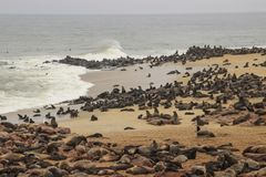 Cute seals frolic on the shores of the Atlantic Ocean in Namibia. stock image