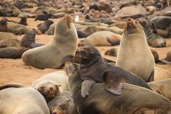 Cute seals frolic on the shores of the Atlantic Ocean in Namibia. stock photo